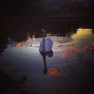Swan on a canal at night taken with an iPhone