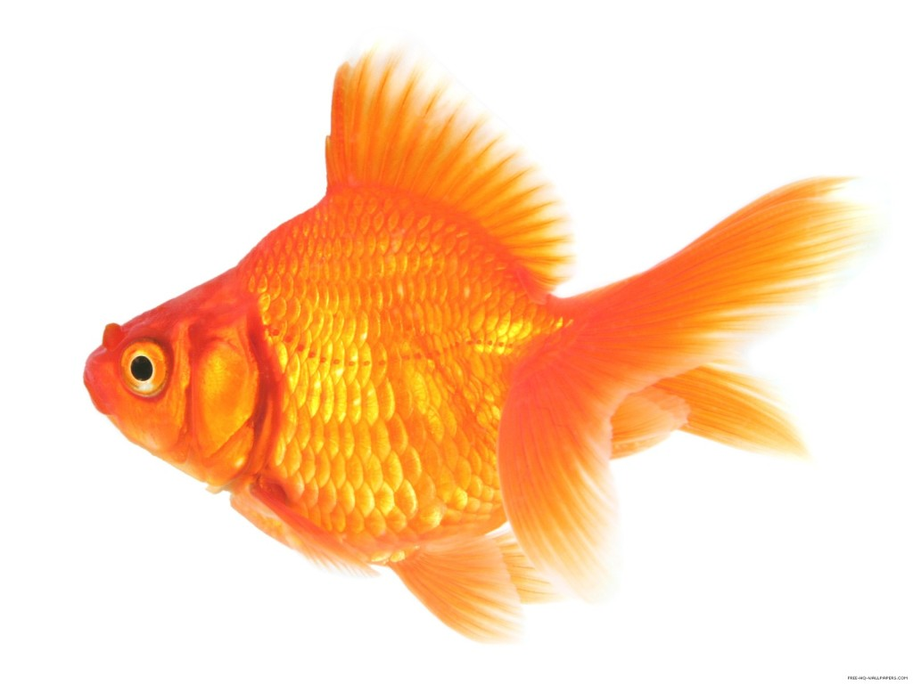 Attention span less than a Goldfish