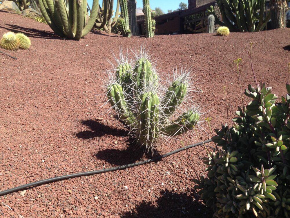 Cactus in gravel